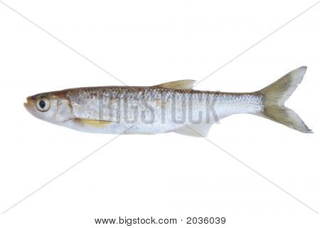 Small Freshwater Fish
