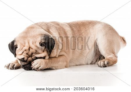 Pug. Isolated photo of a dog. The dog is afraid, frightened, shy