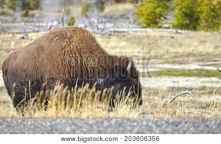 American Bison By A Road In Yellowstone National Park.