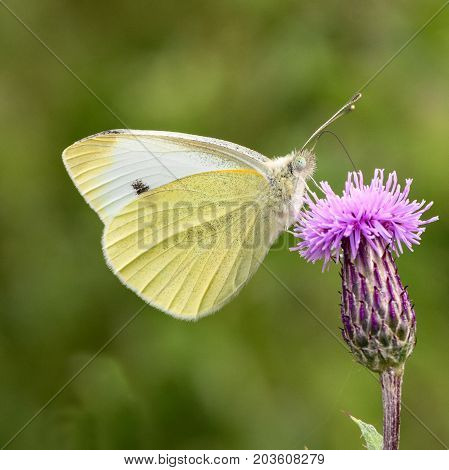 Small white (Pieris rapae) butterfly nectaring on thistle. Insect in the family Pieridae feeding with wings closed in profile