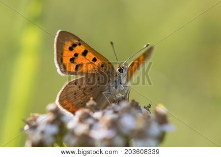 Small copper butterfly (Lycaena phlaeas) from below. Small butterfly in the family Lycaenidae nectaring on yarrow with underside of wings visible