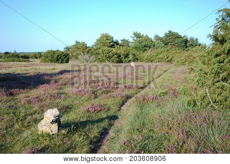 Marked out footpath among heather flowers at the swedish island Oland