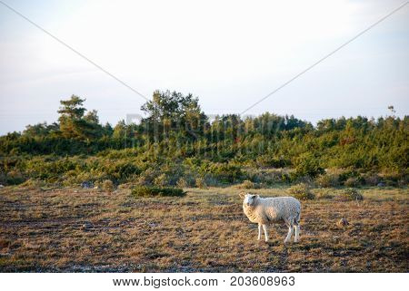 Courious sheep in the unique landscape the world hertage at the southern part of the swedish island Oland