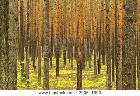 Background: pine forest. Wall of gray-yellow straight pine trunks without branches the ground is covered with bright green moss.