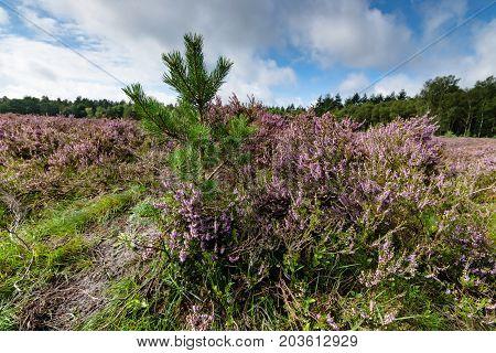 Blooming heath in September with fresh green pine trees on the Dutch Veluwe Renderklippen Heerde Epe.
