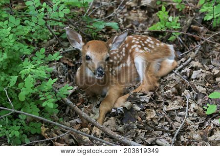 A whitetail fawn resting in the woods.