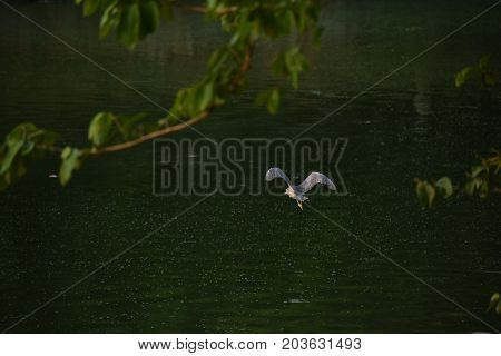 grey heron flying over a beautiful lake