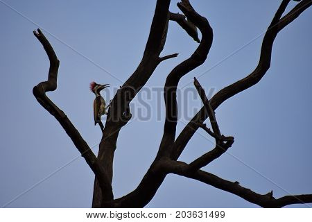Lesser flameback woodpecker perched on a tree at dawn