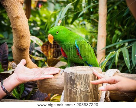 Human arms extend toward male eclectus parrot perched among lush tropical greenery