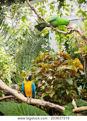 Blue-and-Gold Macaw (Ara ararauna) and eclectus perched among lush tropical greenery