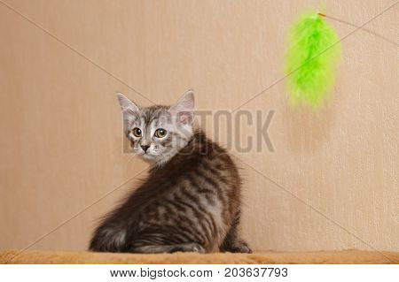 A cute little kitten is a Bobtail and a toy. Pets. Hypoallergenic cat breed. Cheerful kitten