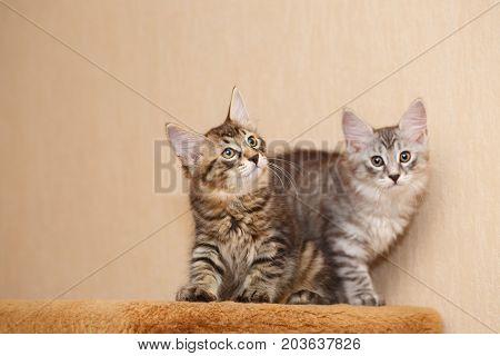 Two cute little kitten Bobtail hunt. Pets. Hypoallergenic cat breed. Portrait of a tabby cat.