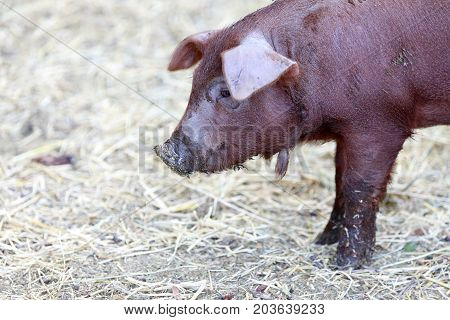 Red Wattle hog (Sus scrofa domesticus) close-up. Napa Valley, California, USA.