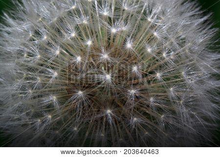Fluffy dandelion is growing on a green meadow. Beauty in nature.