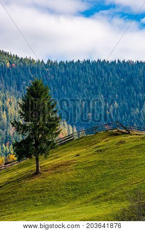 Spruce Tree On Grassy Hillside In Autumn