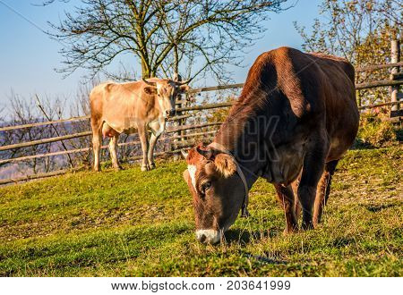 Two Cows On Pasture In Autumn