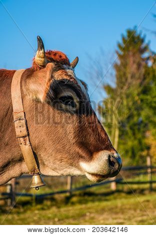 Portrait Of Rufous Cow