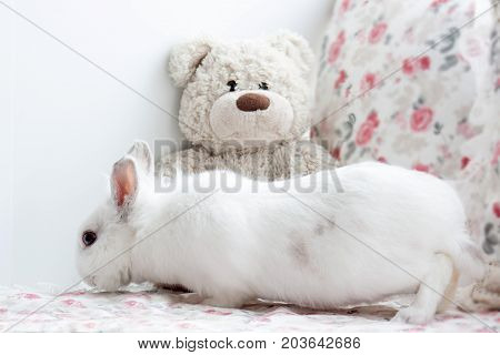 Beautiful white rabbit is sniffing a teddy bear. Pet animals.