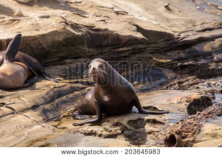 Young California Sea Lion Zalophus Californianus Pups
