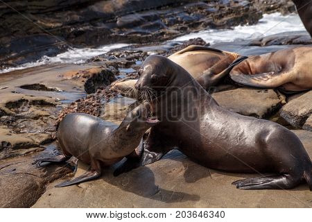 Mom And Pup California Sea Lion Zalophus Californianus