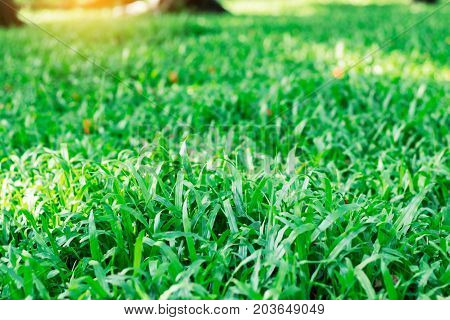 Green grass in the park with sunlight.