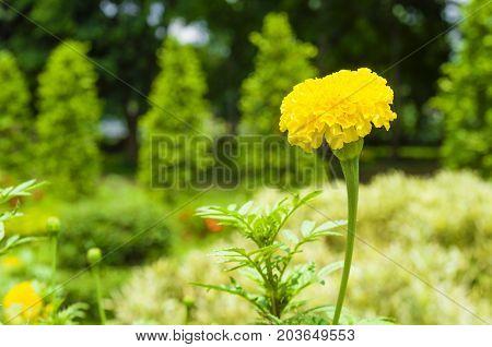 Yellow Marigold flower (Tagetes erecta Mexican marigold Aztec marigold African marigold) Tagetes erecta flower in garden