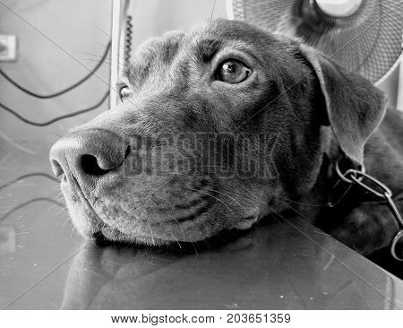 Lonely brown Labrador retriever are waiting for his owner. Black and White. Gray scale. Selective focus at nose.