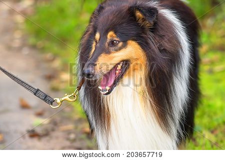 Collie close-up, mouth open, teeth and tongue visible, group of breeds of shepherd dogs originating from Scotland. Space under the text. 2018 year of the dog in the eastern calendar Concept: parodist dogs, dog friend of man, true friends, rescuers.