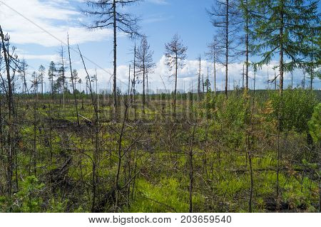 forest shore, river bank in the taiga, ate on the slope, burnt taiga, fire.