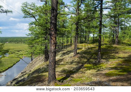 coniferous forest, forest shore, river bank in the taiga, ate on the slope,
