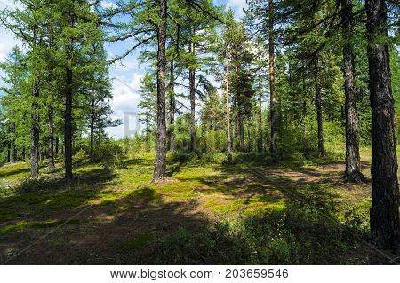 coniferous forest, forest shore, river bank in the taiga, ate on the slope,.