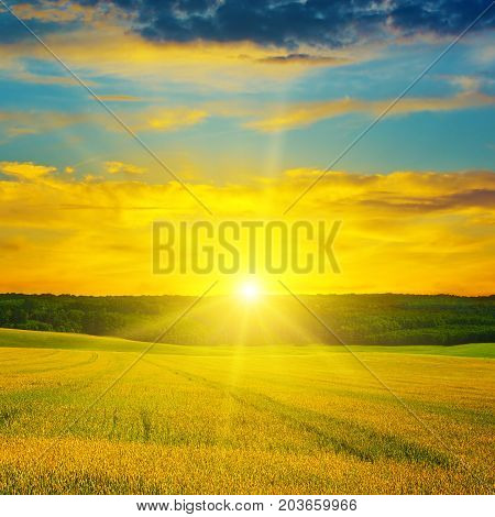 Wheat field and a delightful sun rise