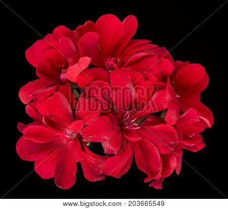 Fresh bright red geranium over black background