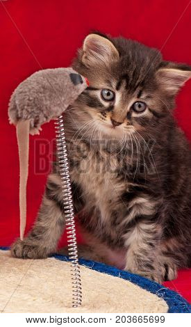 Curious siberian kitten on the scratching post over red background