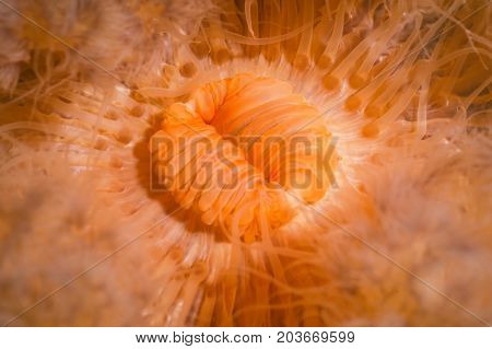 Macro Picture of Orange Plumose Anemone in Pacific Northwest Ocean. Picture taken in Porteau Cove British Columbia Canada.