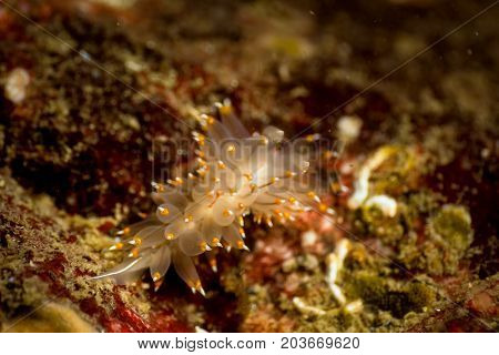 Macro Picture of a Nudibranch in Pacific Northwest Ocean. Picture taken in Whytecliff Park West Vancouver British Columbia Canada.