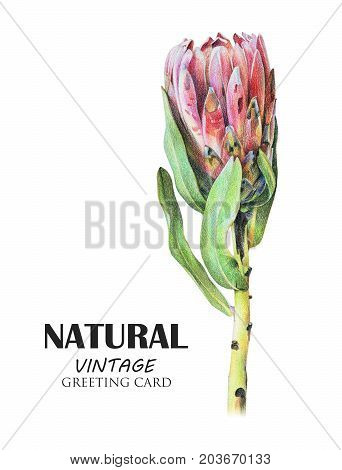 Red protea flower drawn by hand with colored pencil. Tropical plant. Botanical natural collection isolated illustration on white