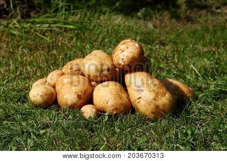 Several fresh tuber of potato on green grass.