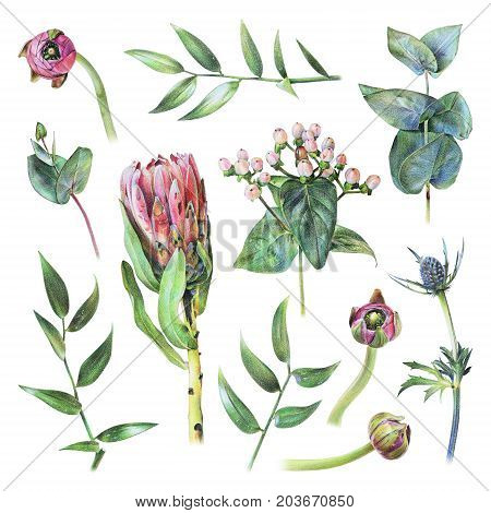 Set of protea feverweed hypericum buttercup buds eucalyptus and green leaves drawn by hand with colored pencil. Spring plants and flowers. Botanical natural collection isolated illustration on white