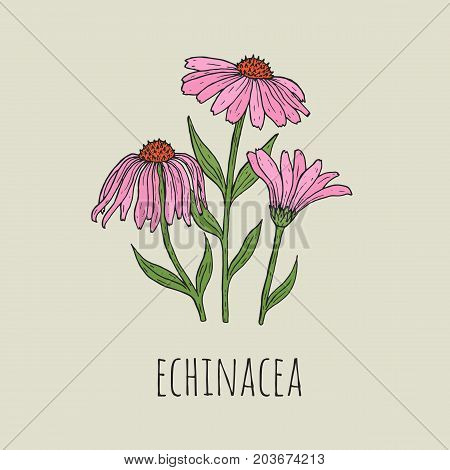 Detailed botanical drawing of elegant pink echinacea flowers growing on green stems. Beautiful blossoming plant hand drawn in vintage style. Floral decorative element. Natural vector illustration