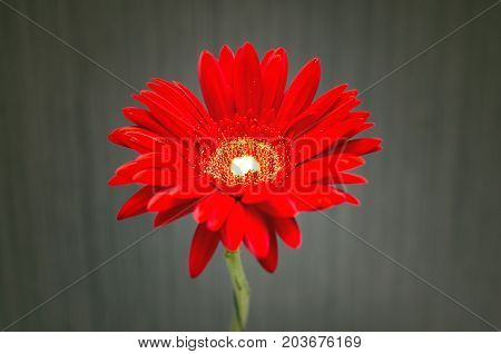 Red gerbera flower on silver wall background.