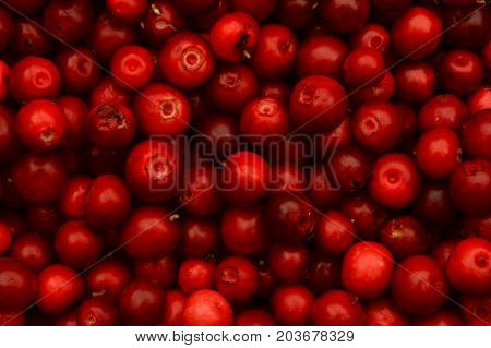 Cowberry fresh ripe red with forest berry