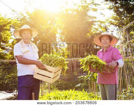 senior couple farmer working in vegetable farm