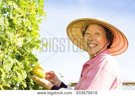 senior woman farmer working in vegetable farm
