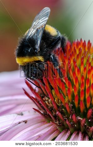A macro shot of a Bumblebee on top of a pink coneflower in flower garden