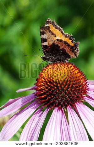 Butterfly seeks nectar on top of a pink coneflower in flower garden