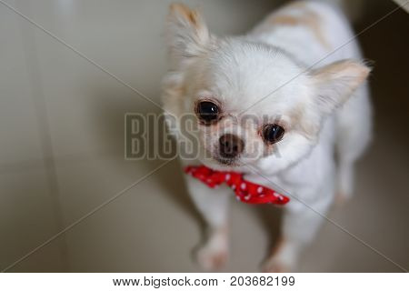 White Chihuahua Dog Cute Pet
