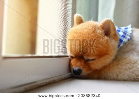 Pomeranian Dog Cute Pet Sleeping In Home