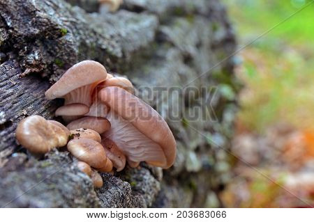 pleurotus cornucopiae mushroom on an oak log