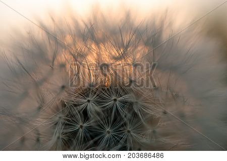 Close-up view of a dandelion blowball against the sunset in a late summer evening